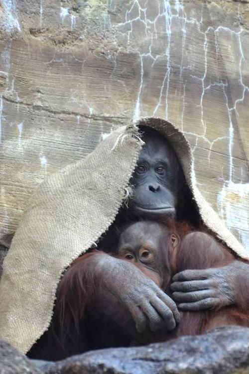 猿の惑星 創世記 ジェネシス あらすじ 感想 シーザーの正体